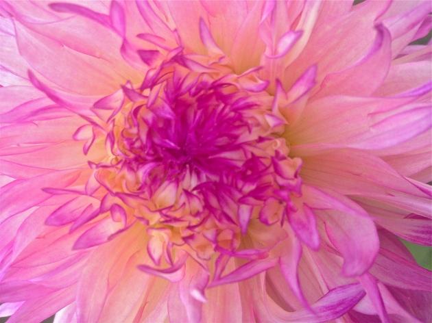 Into the Garden: Dahlias
