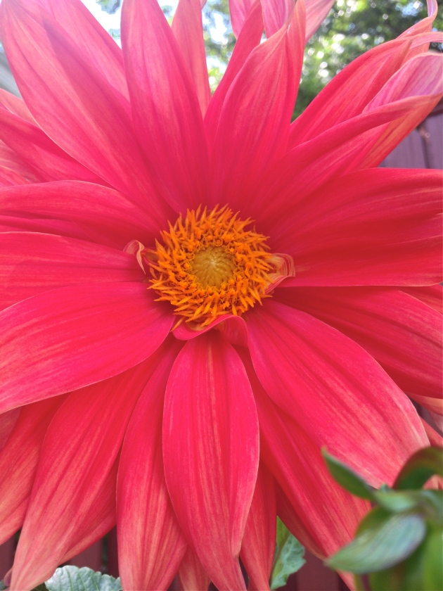 Into the Garden: Dahlias