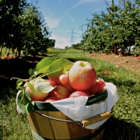 Apple Picking at Stony Hill Farms