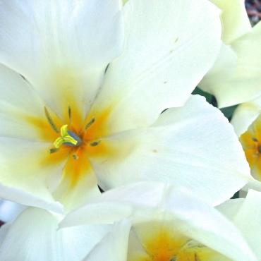 Into the Garden: Tulips